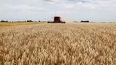 Thu hoạch lúa mì. Ảnh: REUTERS