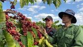 Ông Phạm Phú Ngọc, Trưởng nhóm Hỗ trợ Nông nghiệp Nestlé Việt Nam hướng dẫn nông dân thực hành chăm sóc cà phê trên vườn