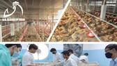 Chuyên cung cấp gà giống Lương Phượng