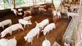 Chăn nuôi heo trên đệm lót sinh học