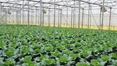 60% diện tích canh tác rau quả ở TPHCM  đạt VietGAP