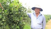 Ông Trần Thành Có, Chủ nhiệm HTX Chăn nuôi và trồng trọt Nhân Đức,  bên vườn cam ở xã Hiếu Liêm, huyện Bắc Tân Uyên, Bình Dương