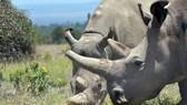 Hai con tê giác trắng cuối cùng ở Châu Phi, cả hai đều là con cái và không còn sinh sản được