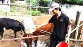 Anh Lê Đình Luận (bố của Lân) chăm sóc hai con bò  để lo tiền ăn học cho con trai ở TPHCM