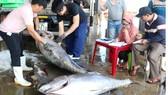 Kiểm tra, bảo quản cá ngừ trước khi chế biến xuất khẩu
