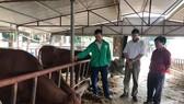 Hà Tĩnh: Hơn 500 con gia súc bị nhiễm bệnh viêm da nổi cục