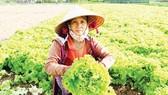 Người trồng rau ở xã Nghĩa Dũng (TP Quảng Ngãi)  cắt bỏ rau xà lách quá lứa. Ảnh: NGUYỄN TRANG