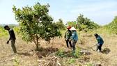 Nông dân xã Ia Mơ, huyện Chư Prông, tỉnh Gia Lai thu hoạch mì