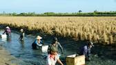 Nhiều mô hình sản xuất hiệu quả trên địa bàn huyện Thới Bình. Trong ảnh là mô hình lúa- tôm