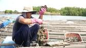Hàu của ngư dân Bà Rịa - Vũng Tàu đến kỳ thu hoạch nhưng  vắng bóng người mua