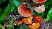 Đồng Nai: Trồng thử nghiệm nấm linh chi dưới tán rừng