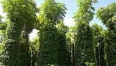 Bình Phước: Ngân hàng giảm lãi vay 8,2 tỷ đồng hỗ trợ người trồng tiêu