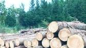 Gỗ cây bách được sử dụng phổ biến làm vật liệu xây dựng ở Nhật Bản