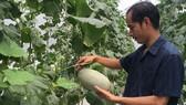 Dưa lưới đang là sản phẩm nông nghiệp phát triển mạnh ở nhiều địa phương