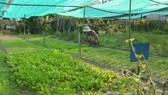 Ông Nguyễn Văn Chức bên vườn rau của mình
