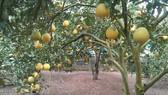 Đồng Tháp: 3 loại cây lâu năm được chứng nhận quyền sở hữu