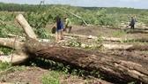 Nông dân huyện Tân Biên (Tây Ninh) chặt bỏ vườn cao su già cỗi