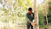 Nông dân xã Sa Loong, huyện Ngọc Hồi, tỉnh Kon Tum thu hoạch mủ cao su