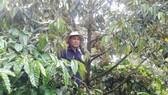 Vườn cây cà phê của anh Định được trồng xen canh cây sầu riêng và cùng cho năng suất cao