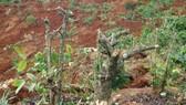 Đắk Nông: Vườn cây của dân liên tiếp bị kẻ gian phá hoại