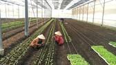 Trang trại rau hữu cơ Nhất Thống (huyện Nhà Bè) vẫn chưa xây dựng được nhà sơ chế