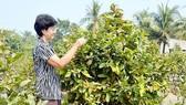 Làng mai Vĩnh Phú vui đón vụ hoa tết