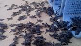 Thả hơn 81.000 cá thể rùa con về biển