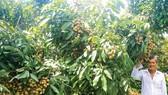 Nhãn Ido được nhiều bà con khu vực Đồng bằng sông Cửu Long ưu tiên lựa chọn để phát triển. Ảnh: PHÚC NGUYỄN