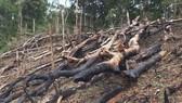 Kỷ luật 2 giám đốc công ty lâm nghiệp để mất rừng