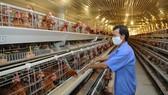 Hoạt động chăn nuôi gây phát thải khí nhà kính