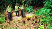 Cán bộ kiểm lâm thả chim trĩ đỏ về Khu bảo tồn thiên nhiên lung Ngọc Hoàng