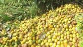 Quýt rớt giá, nông dân Nghệ An gặp khó