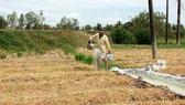 Ông Lâm Văn On (xã Châu Khánh, huyện Long Phú, tỉnh Sóc Trăng) mạnh dạn chuyển đổi thành công mô hình sản xuất lúa sang hoa màu. Ảnh: TUẤN QUANG