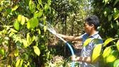 Người dân xã Thống Nhất (huyện Bù Đăng, tỉnh Bình Phước) phải dẫn nước từ hồ suối để tưới cho hồ tiêu