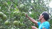 Mô hình trồng bưởi sạch theo hướng hữu cơ ở huyện Vĩnh Cửu