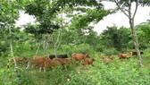 Người A Rem phát triển đàn gia súc dưới tán sưa