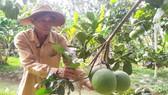 Nông dân Bến Tre chăm sóc vườn cây ăn trái sau hạn mặn