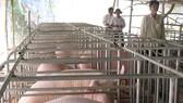 Tái cơ cấu việc chăn nuôi heo