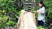 Cây bị chặt phá vô tội vạ ở rừng Phú Yên