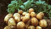 Chọn tạo giống khoai tây Đà Lạt chất lượng cao
