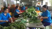 HTX Phước An (huyện Bình Chánh) sản xuất rau an toàn, nhưng vẫn còn thiếu vốn, nhân lực