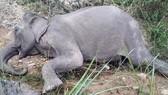 Con voi nhà duy nhất ở Bắc Tây Nguyên đã chết
