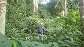 Rừng Tây Nguyên tăng hay giảm - Bài 2: Diện tích tăng, chất lượng giảm