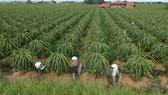 Thanh long ruột đỏ xuất khẩu trồng tại xã Hiệp Thạnh, huyện Châu Thành, tỉnh Long An. Ảnh: CAO THĂNG