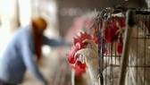 Nga: Lần đầu phát hiện virus H5N8 ở người