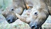 20 năm tù cho đối tượng săn bắn tê giác trái phép