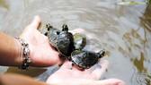 Peru thả 5.000 con rùa được ấp trứng nhân tạo về vùng rừng Amazon