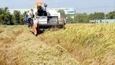 Thu hoạch lúa tại đồng bằng sông Cửu Long. Ảnh: CAO THĂNG