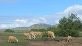 Cứu hộ đàn cừu Ninh Thuận