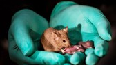 Chuột sinh sản không cần chuột đực